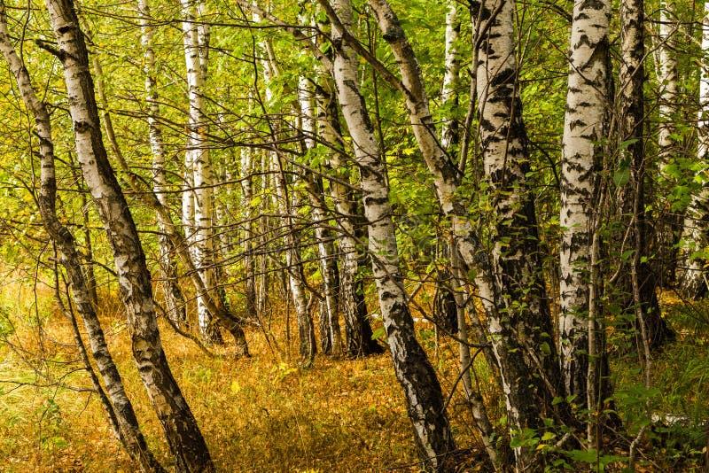 Árboles de abedul blancos de la caída con las hojas de otoño en fondo imagen de archivo