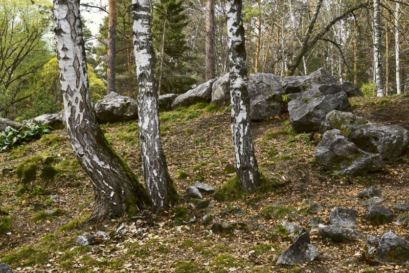 Árboles de abedul con las piedras grandes en el bosque imágenes de archivo libres de regalías