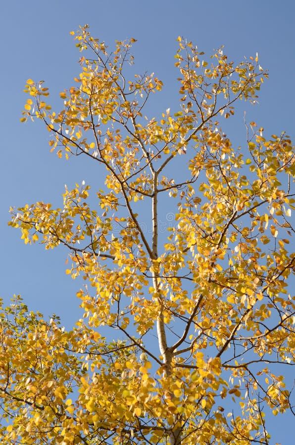 Árboles de abedul cubiertos en hojas coloreadas multi en otoño imágenes de archivo libres de regalías