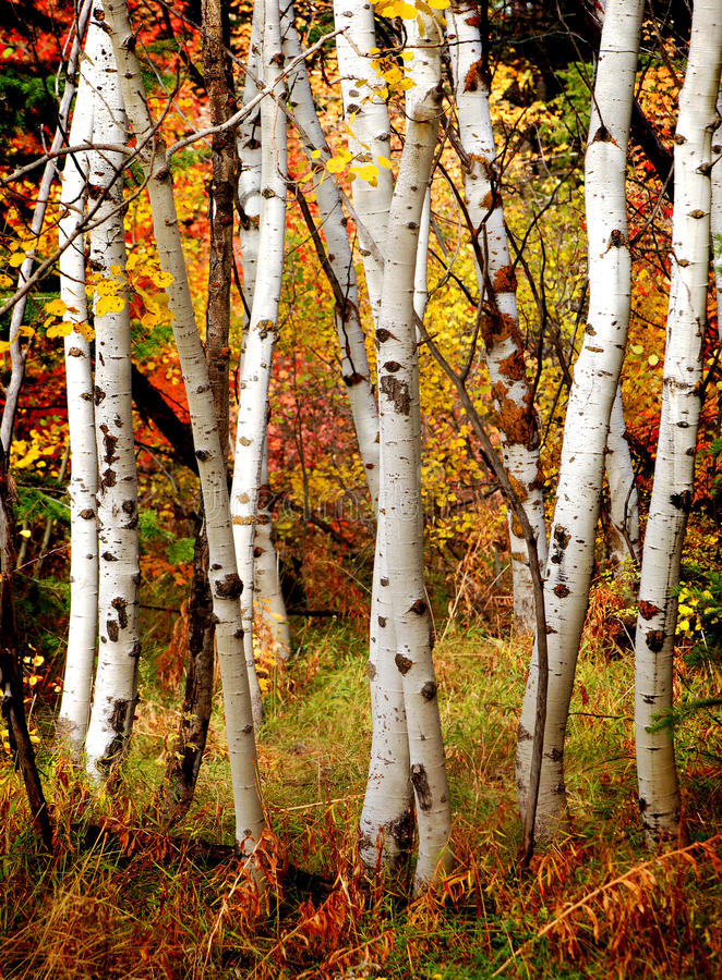 Árboles de abedul de la caída foto de archivo