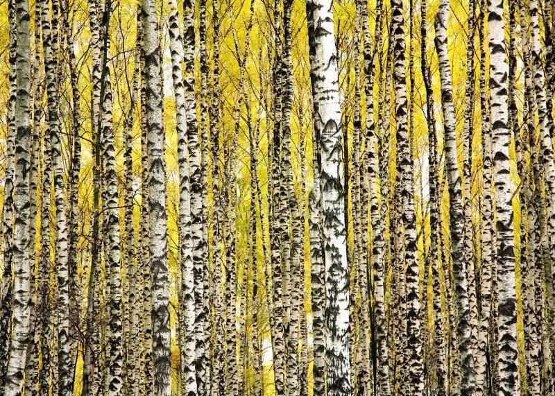 Árboles de abedul de los troncos en otoño imagenes de archivo
