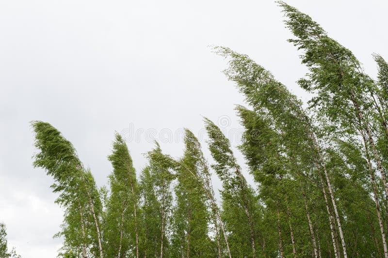 Árboles de abedul del fuerte viento que soplan fotos de archivo libres de regalías
