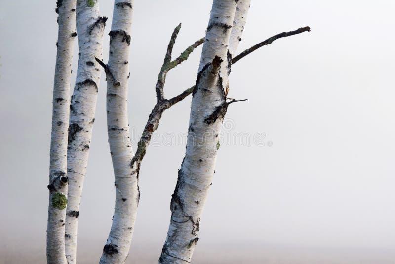 Árboles de abedul en la niebla fotografía de archivo