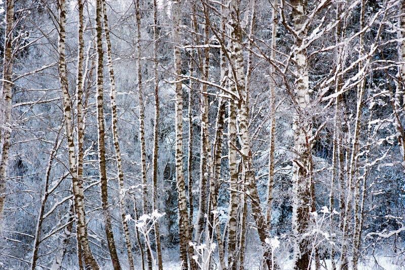 Árboles de abedul en nieve fotografía de archivo libre de regalías
