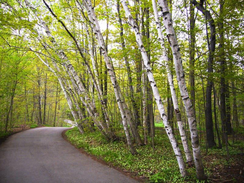 Árboles de abedul en un camino foto de archivo