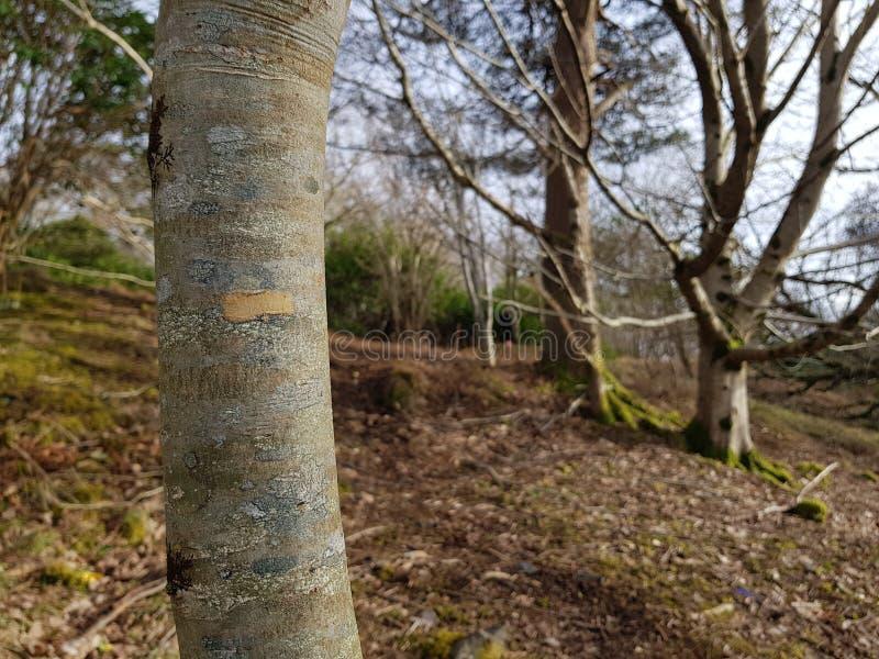 Árboles de abedul escoceses imagenes de archivo