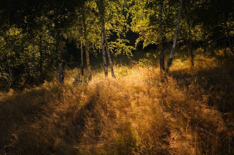 Árboles de abedul hechos excursionismo por el sol fotografía de archivo libre de regalías