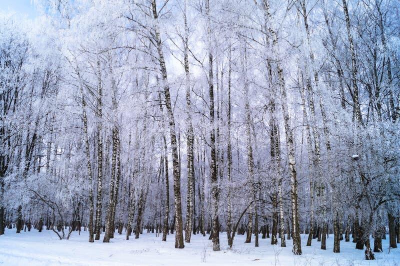 árboles de abedul jovenes cubiertos con helada en parque fotos de archivo libres de regalías