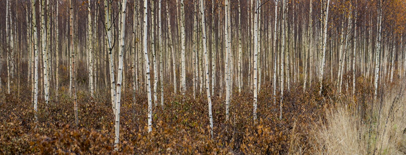Árboles de abedul jovenes en otoño imagen de archivo libre de regalías