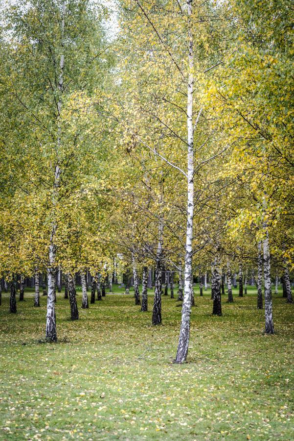 Árboles de abedul de plata, Estocolmo, Suecia fotos de archivo