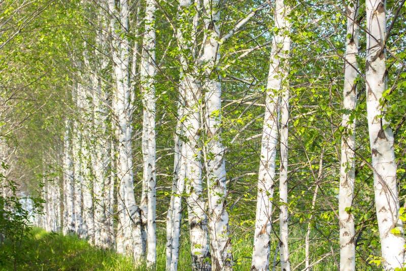 Árboles de abedul que crecen en fila Troncos del abedul blanco, naturaleza del papel pintado del fondo Bosque de la arboleda del  imagen de archivo libre de regalías