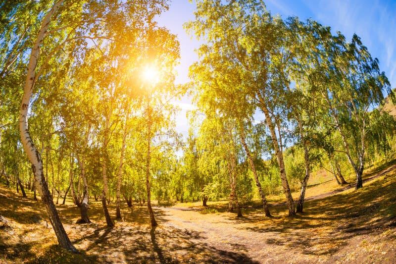 Árboles de abedul verdes en bosque del verano fotos de archivo