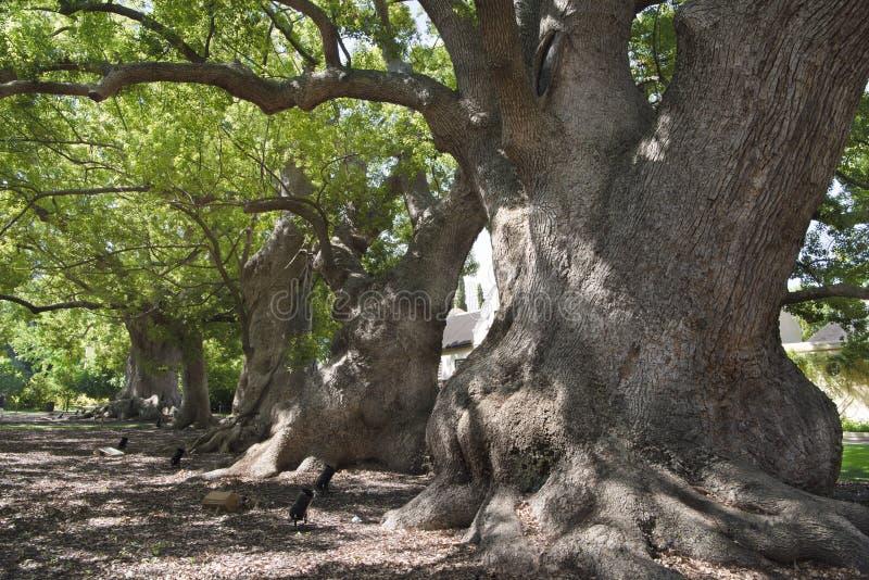 Árboles de alcanfor viejos imagen de archivo