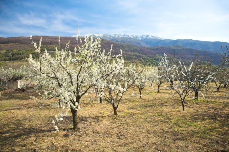 Árboles de almendra en el valle de Jerte fotos de archivo libres de regalías