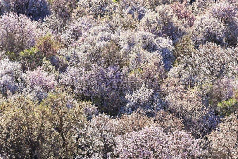 Árboles de almendra en flor lleno. imagen de archivo libre de regalías