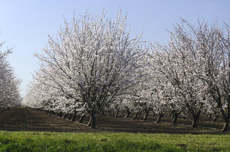 Árboles de almendra en la floración imagenes de archivo