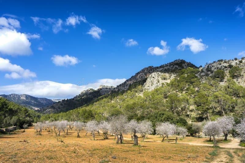 árboles de almendra florecientes imágenes de archivo libres de regalías