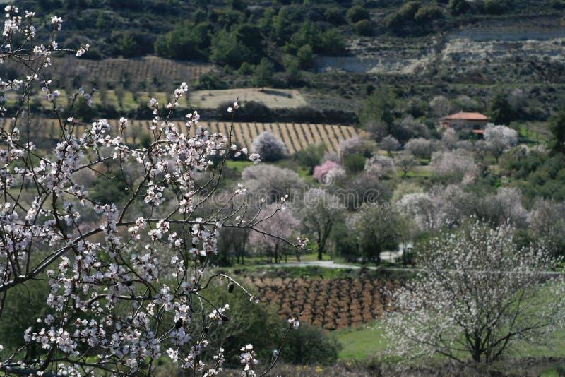Árboles de almendra florecientes en las montañas imagen de archivo