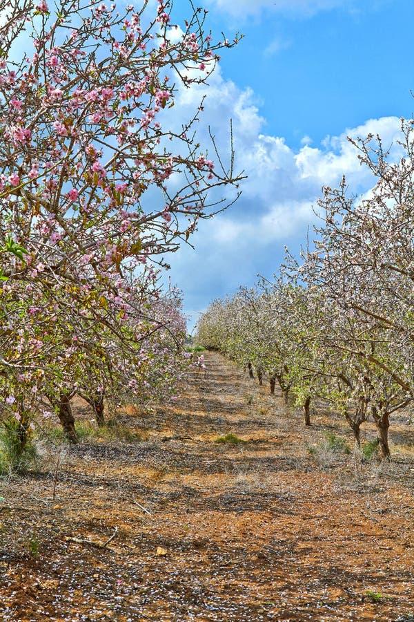 Árboles de almendra de florecimiento en el campo foto de archivo libre de regalías