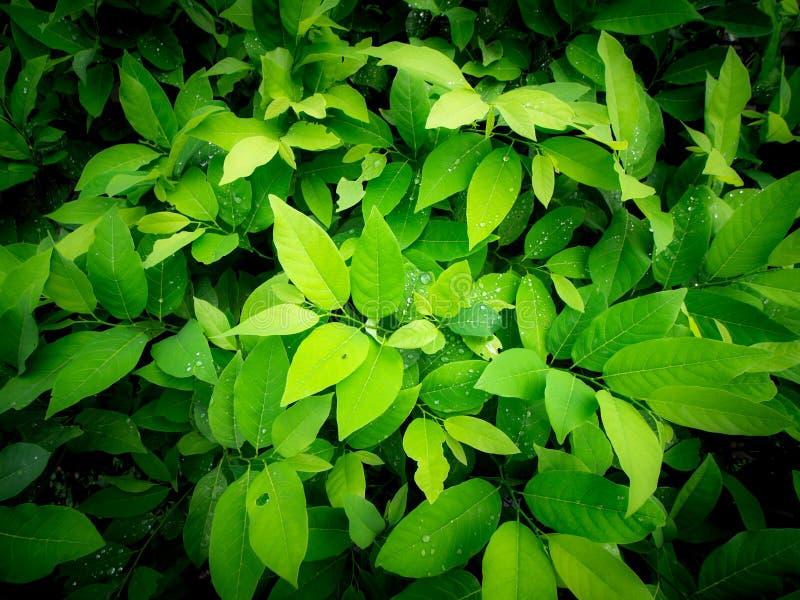 Árboles de anona que crecen en la granja foto de archivo