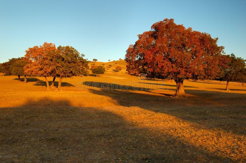 Árboles De Arce Imagen de archivo libre de regalías