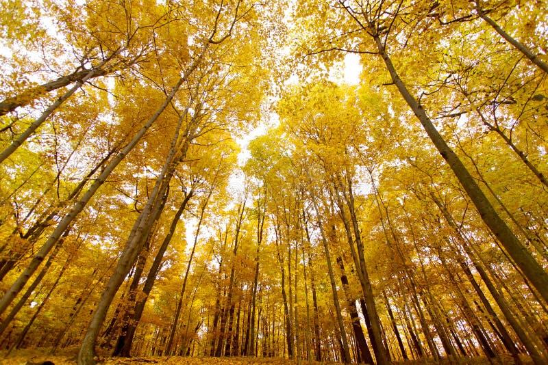Árboles de arce amarillos altos imagen de archivo