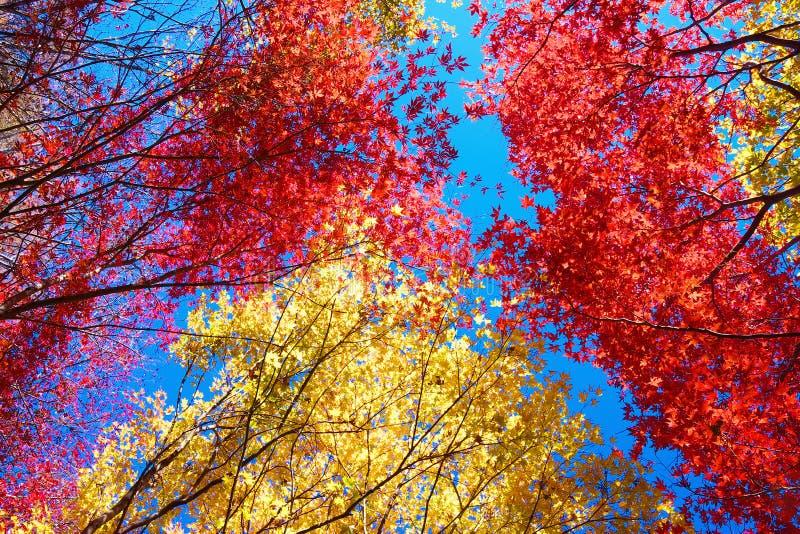Árboles de arce japonés rojos y amarillos fotografía de archivo