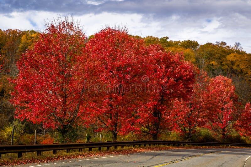 Árboles de arce rojo del borde de la carretera fotografía de archivo libre de regalías