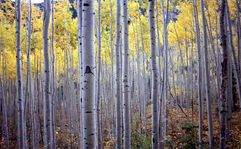 Árboles de Aspen en caída fotos de archivo