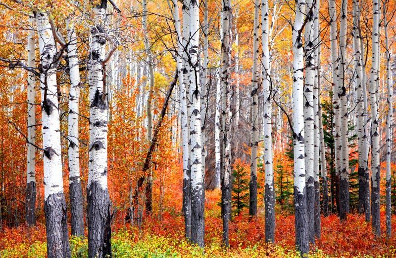 Árboles de Aspen en el parque nacional de Banff en tiempo del otoño imagenes de archivo