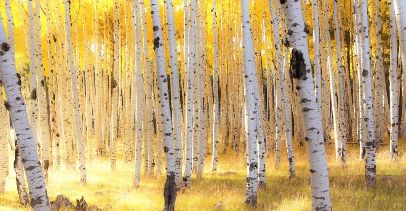 Árboles de Aspen en luz del otoño cerca de la asta de bandera, Arizona fotografía de archivo libre de regalías
