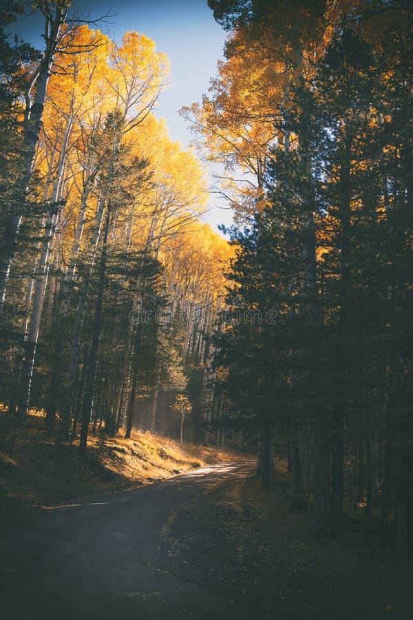 Árboles de Aspen en luz del otoño cerca de la asta de bandera, Arizona imagenes de archivo