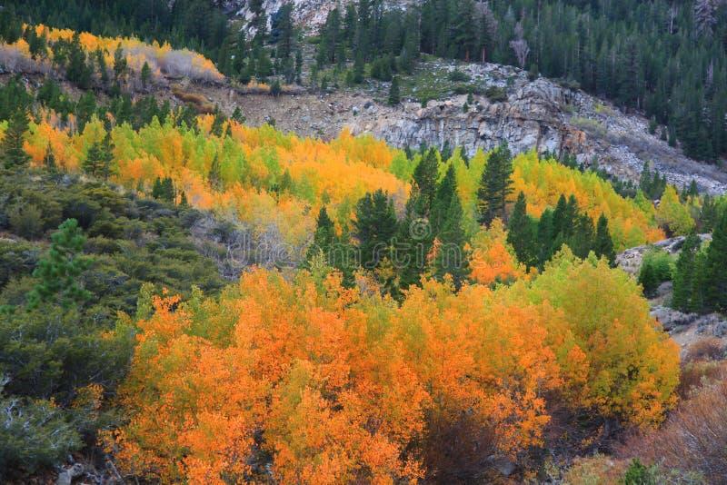 Árboles de Aspen en otoño imagenes de archivo