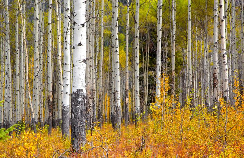 Árboles de Aspen en tiempo del otoño fotografía de archivo