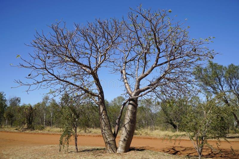 Árboles de Boab en Australia occidental imagen de archivo libre de regalías