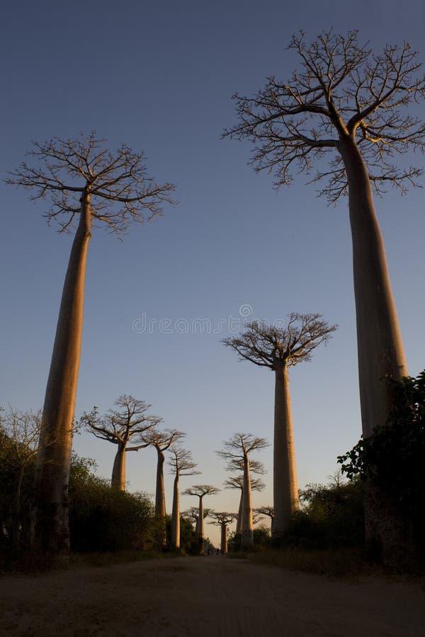 Árboles de Boabab imagen de archivo