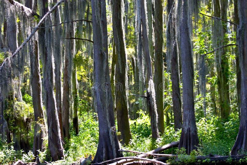 Árboles de cedro cubiertos de musgo foto de archivo libre de regalías