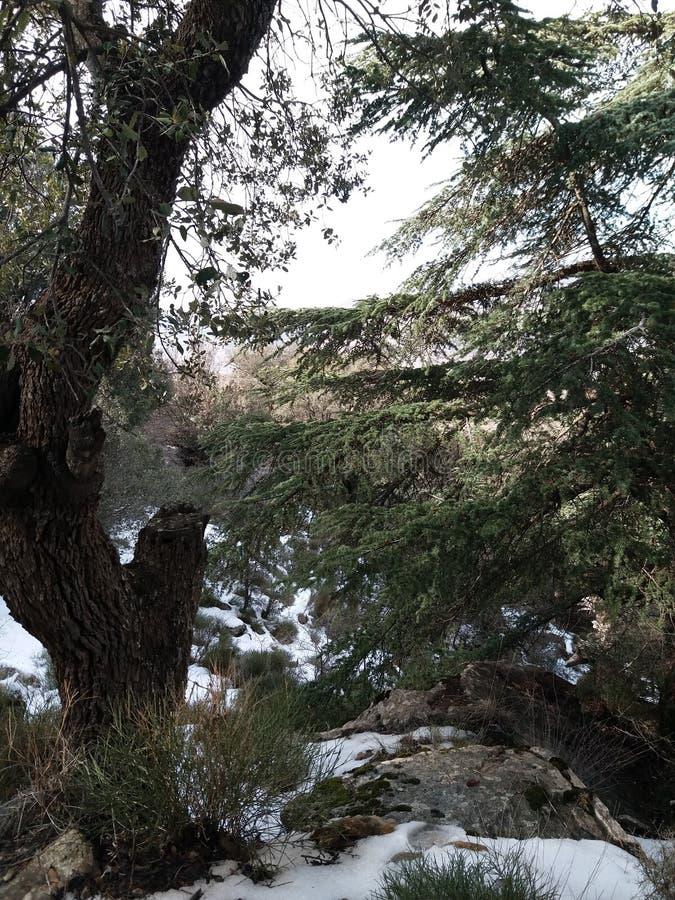 Árboles de cedro en las montañas del algaria de los aures foto de archivo