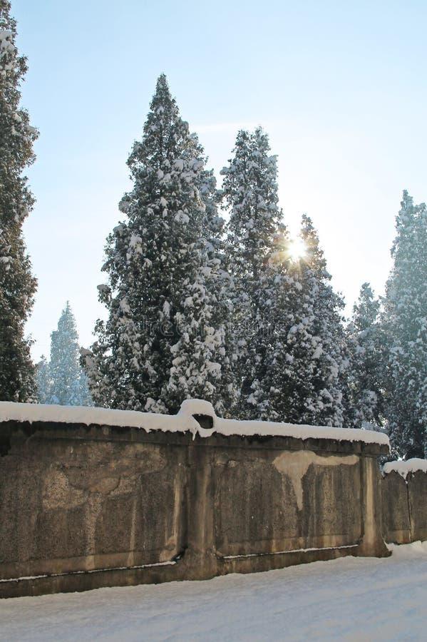 Árboles de cedro en parque del invierno foto de archivo