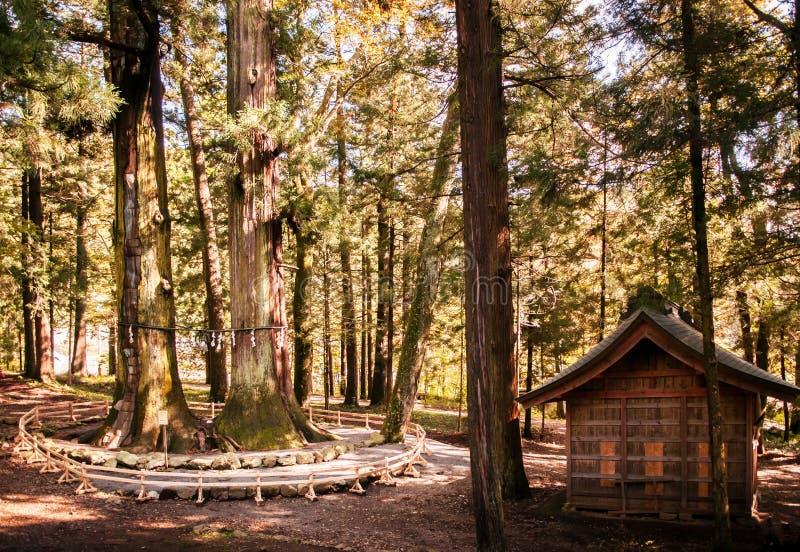 Árboles de cedro gigantes, árbol de pino grande, capilla de Kawaguchi Asama, Kawagu imagen de archivo