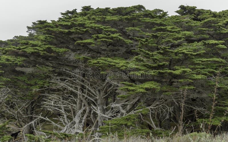 Árboles de ciprés costeros grandes en reserva del estado de Lobos del punto imagen de archivo libre de regalías