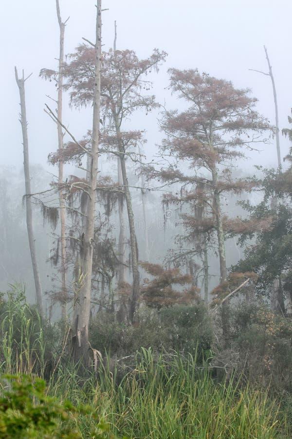 Árboles de ciprés muertos y de muertes que se colocan en la niebla en la isla de Guste fotos de archivo