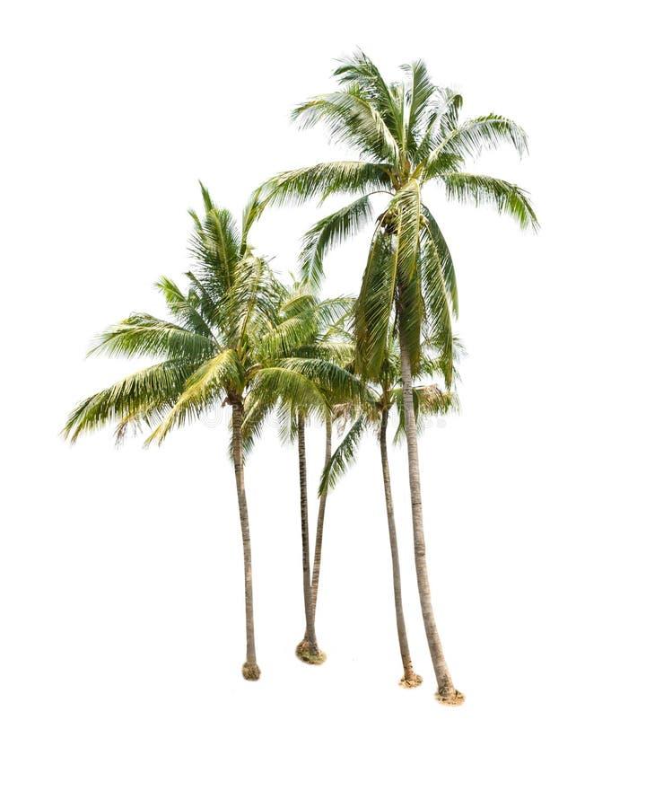 Árboles de coco aislados en blanco foto de archivo libre de regalías