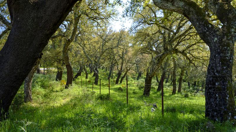 Árboles de corchos de Andalucía, España fotos de archivo