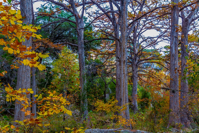 Árboles de Cypress calvo gigantes con las capas delgadas hermosas de la caída imagenes de archivo
