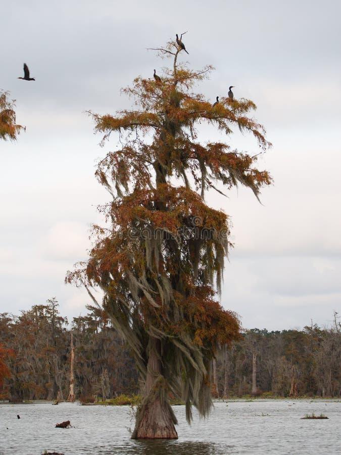 Árboles de Cypress en el lago Martin, Luisiana fotos de archivo libres de regalías