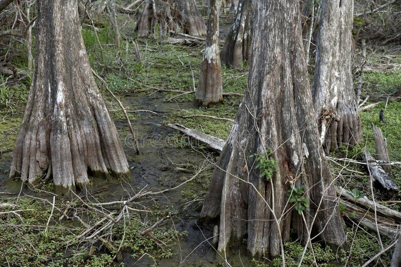 Árboles de Cypress en el storter de Kirby fotografía de archivo