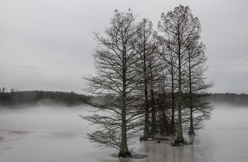 Árboles de Cypress en niebla e hielo foto de archivo libre de regalías
