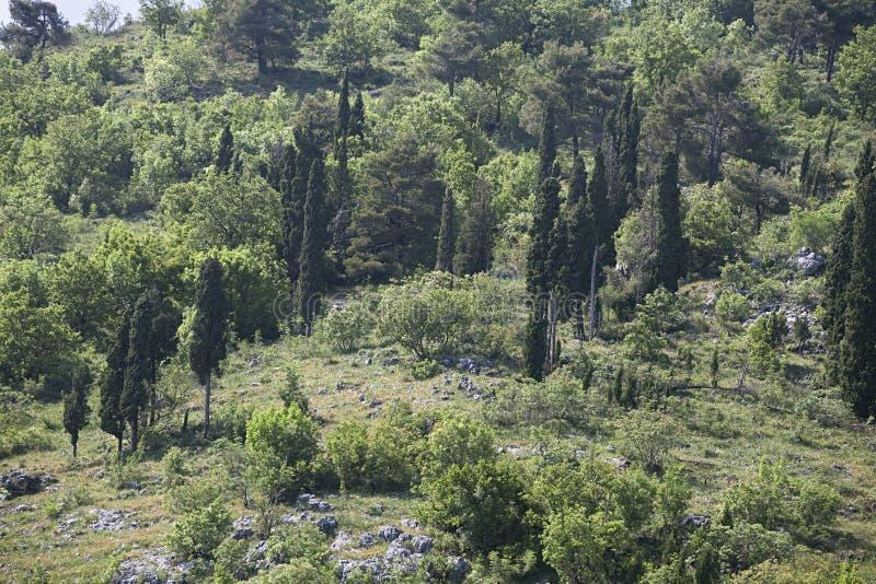 Árboles de Cypress en una colina foto de archivo libre de regalías