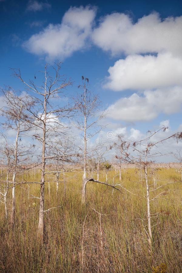 Árboles de Cypress enanos foto de archivo libre de regalías